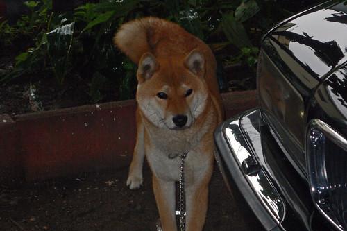 柴犬のリキ