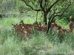 Impalas (kayadams.com) Tags: africa elephant southafrica indianocean lion rhino antelope zimbabwe victoriafalls giraffe hippo hippopotamus baboon botswana wildebeast impala chobe swaziland rhinoceros alert zambia livingston mozambique macmacfalls capebuffalo soweto wildebeest maputo antelopepark hwange nelspruit blyderivercanyon shongololo zambeziriver cecilrhodes bourkesluck matobo godsview walkwithlions