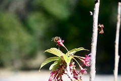 Bee and Cherry Blossom 2