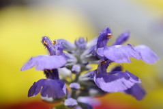 flower layers (Alexander Wolf) Tags: park camera blue red usa flower detail macro yellow closeup digital orlando nikon dof florida bokeh micro vase delicate upclose baldwin d300