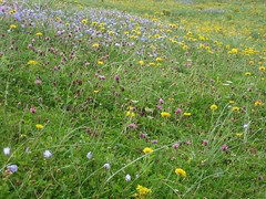 The machair in full bloom