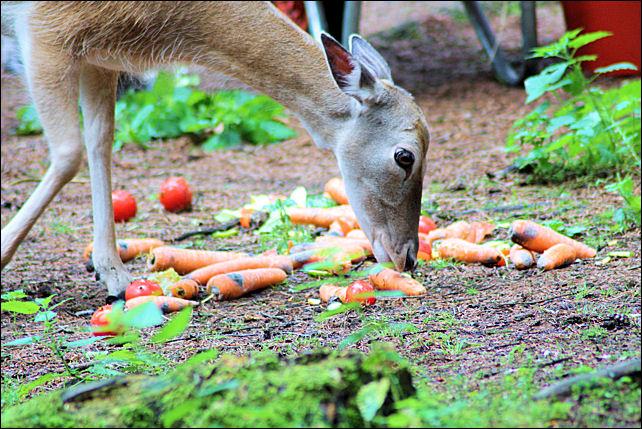 Fallow Deer Feeding