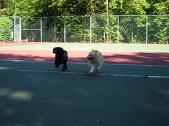 IMG_8477 (kelaltieri) Tags: bear dog puppy pomeranian tenniscourts havanese germanspitz kleinspitz rozie