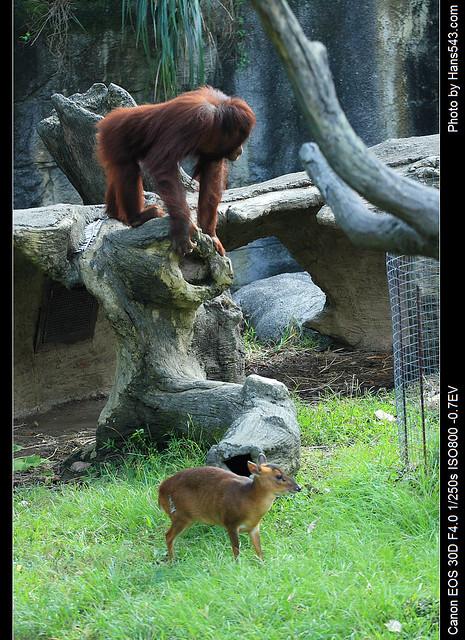 紅毛猩猩07