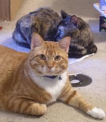 Ethan and Chloe (PaperBouquet of Mars) Tags: orange cats white cat tabby kitty chloe ethan siblings tortoiseshell kitties tortoiseshellcat tortie orangetabby littermates