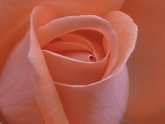 Abrzalo, es suaaaaave :-) (hiskinho) Tags: pink flower macro rose flor rosa raynox supershot mywinners colourartaward