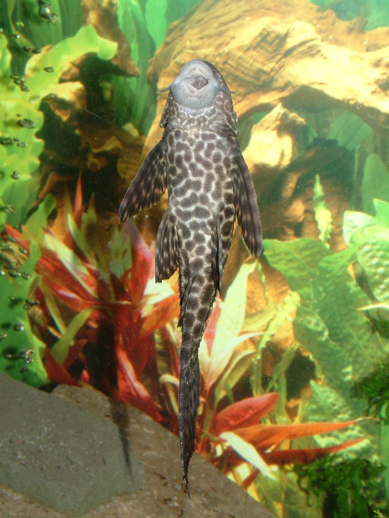 Freshwater aquarium fish that look like sharks -  Blackie