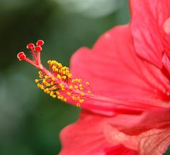 Details (hope0040) Tags: red flower macro 1001nights naturesfinest flowerotica mywinners abigfave ultimateshot top20red theperfectphotographer goldstaraward wonderfulworldofflowers newworldglobalaward