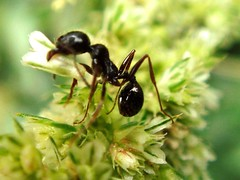 Ant During Work !! (Iranian Roseate ...) Tags: wild nature beautiful beauty bug iran best irannature naturebeauty salmas beautifulbug wildbug flowerbugs iranbeauty iranianphotoghrapher gardeninhabitants earthinhabitants mahmoudmousavi
