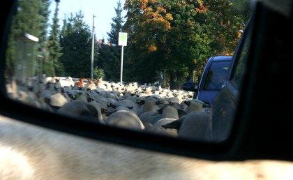 Schafe im Rückspiegel
