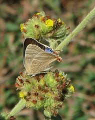 Creamy Stripe-Streak (Creamy Hairstreak) 1482F (jvpowell) Tags: sonora mexico butterflies mariposas alamos creamystripestreakcreamyhairstreak arawacusjada creamystripestreak creamyhairstreak