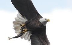 Bald Eagle With Fish (Steve Byland) Tags: sky fish bird nature birds fly flying eagle birding flight baldeagle bald maryland predator hawks haliaeetus leucocephalus conowingo featheryfriday mywinners