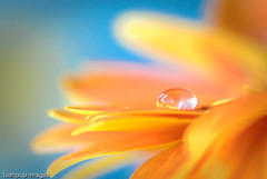 ...waiting patiently... (Geoff...) Tags: orange flower water nikon bokeh naturallight australia drop petal gerbera refraction droplet canberra tamron90mmmacro d80 lushpupimages cfaa lushpup