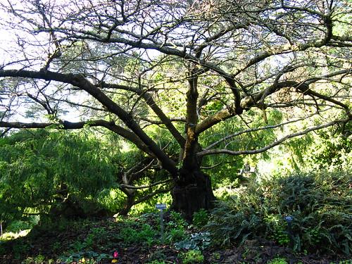 Prunus yuanensis