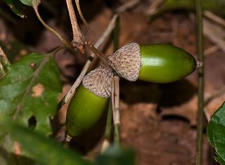 Acorns, Lithocarpus edulis Oak Seeds