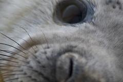 pup26 (Janey M) Tags: seals donnanook greysealpup