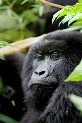 Rwanda 095 (xtph) Tags: pictures africa nature dark real photography amazing flickr gorilla wildlife awesome picture rwanda jungle ape christoph silverback mountaingorilla centralafrica virunga beringei gorillaberingei gorillaberingeiberingei virungavolcanoes christophvandewiele vandewiele virungavolcanicmountains flickrlovers robertvonberinge xtph