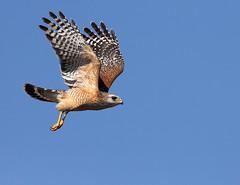 Red-Shouldered Hawk                    (Buteo Lineatus) (pedro lastra) Tags: bird nature canon florida flight raptor tropical evergladesnationalpark redshoulderedhawk buteolineatus 50d flyingbirds