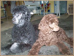 Shane & Aidan (Alternative Dog Daycare) Tags: jay shane aidan standardpoodle phantompoodle