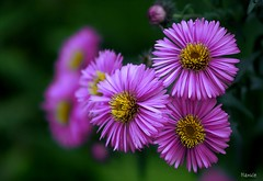a happy day to you :) (Hanule) Tags: summer flower macro nature bokeh violet mikulov minoltaaf70210f4 ubej goldenart themonalisasmile