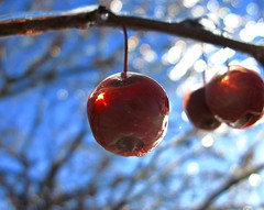 Saving The Best For Last?  Explore #277 (Don3rdSE) Tags: blue winter red sky sun storm cold color macro ice closeup fruit interestingness interesting flickr december dof bokeh iowa explore apples breathtaking crabapple desmoinesia explored aplusphoto diamondclassphotographer flickrdiamond colourartaward canong9 breathtakinggoldaward don3rdse