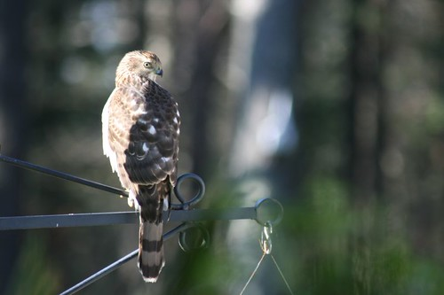 Juvenile Cooper's Hawk by crosby_allison.