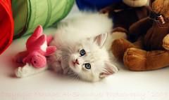 Sophie with her toy's (Mashael Al-Shuwayer) Tags: pet animal digital cat canon toy toys eos 50mm kitten sophie kittens saudi arabia saudiarabia alkhobar 400d pet100 mashael alshuwayer