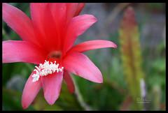 Epiphyllum sp... (Leon Verde) Tags: flower flor cactaceae epiphyllum freenature leónverde