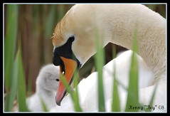 A Mother's Watchful Eye. (Kenny ''Boy'') Tags: nature swan feathers cygnet brid