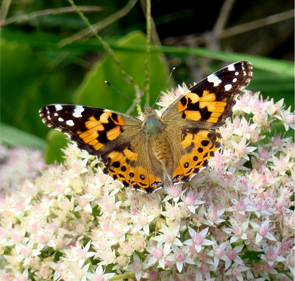 Painted Lady in all her glory...