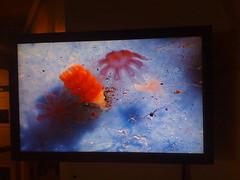 jellyfish montereybayaquarium jelly microscope moonjelly polyp cnidarian cnidaria jillmotts ephyra strobilating strobilation ephyrae jellyfishlifecycle underalens