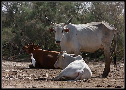 07-vacas