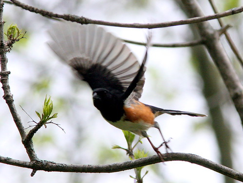 Eastern Towhee Flying 20090508