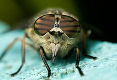 GIANT HORSEFLY  TABANUS species (GOLDENORFE) Tags: macro insect horsefly flys macrolife beautifulmonsters