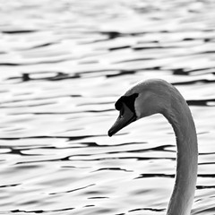 Swan's head (by storvandre)