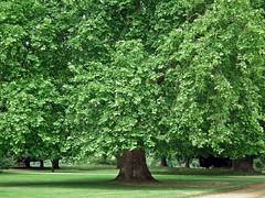 Oak Tree (Janna...) Tags: park flowers trees garden oak norfolk stowbardolph stowhallgardens