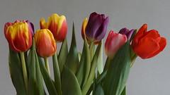 Chinonflex (3) (SeppoU [Read 'About' for info!]) Tags: flower spring tulip 2014 kevät kukka tulppaani