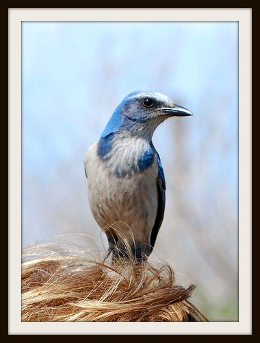 Scrub Jay on my head