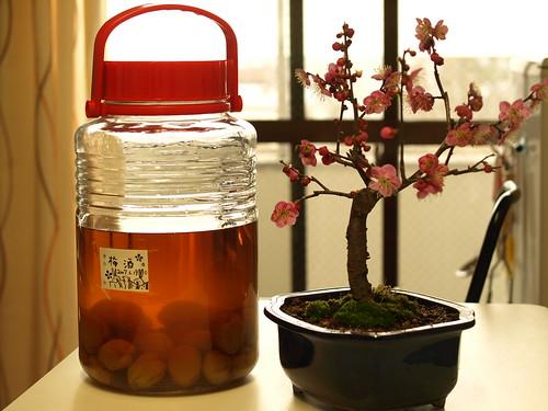 梅と梅酒 (10)