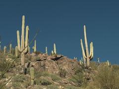 Saguaro 07 (a987checkers) Tags: saguaronationalpark wassonpeak