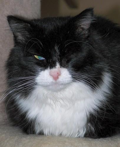 cat baron denvercolorado fiv 80223 animalrescueandadopotionsociety savethemeowmeows rockymountainfelinerescue