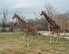 2 Giraffes  - Tulsa Zoo