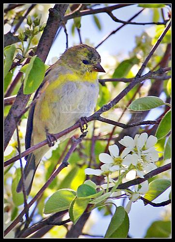 Spring Finch