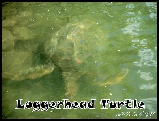 Seaworld: Loggerhead Turtle