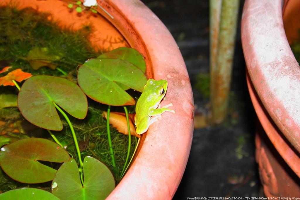 Rhacophorus smaragdinus 翡翠樹蛙 IMG_6624