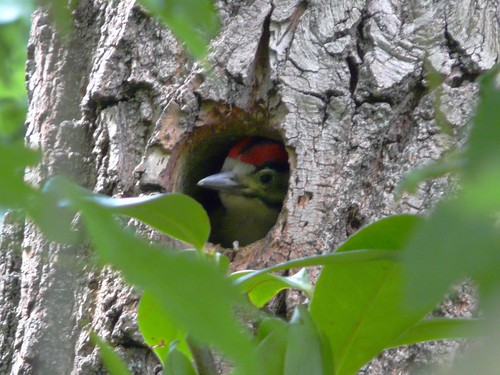 Baby Great Spotted Woodpecker in Russia Dock Woodland