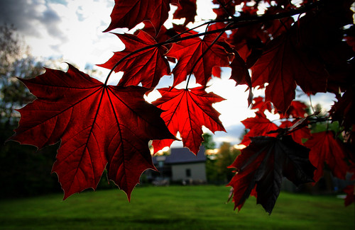 Canada Day leaves