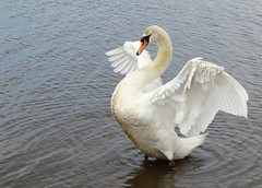 Testing the Wings (Missy2004) Tags: swan newforest muteswan hatchettspond pfogold