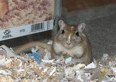 Sebastian (twinsqueaks) Tags: pet pets gerbil rodent sebastian rodents gerbils