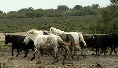 Provence (chiar@s.) Tags: horse running bull tori cavalli camargue galope chiaras amazingamateur natureselegantshots